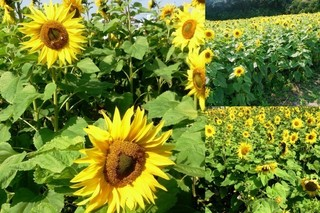 kitanaka-sunflower.jpg